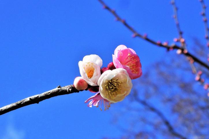 2月梅の花